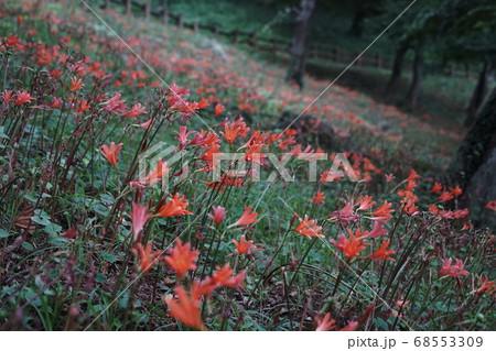 8月 栃木66キツネノカミソリ大田和群生地・みかも山公園 68553309