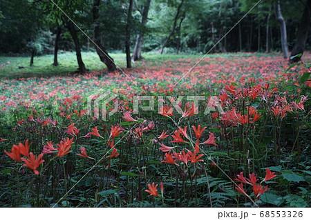 8月 栃木49キツネノカミソリ大田和群生地・みかも山公園 68553326