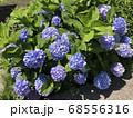 小ぶりの紫陽花 68556316