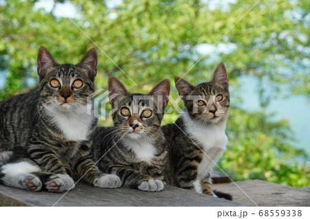 かわいい野良猫3兄弟のカメラ目線 68559338