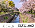 善福寺川緑地の桜並木 68581002