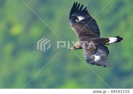 大声で鳴きながらグリーンバックに飛ぶイヌワシ幼鳥 68593150