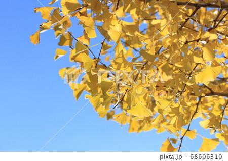 公園で青空を見上げたイチョウの木の写真 68606310