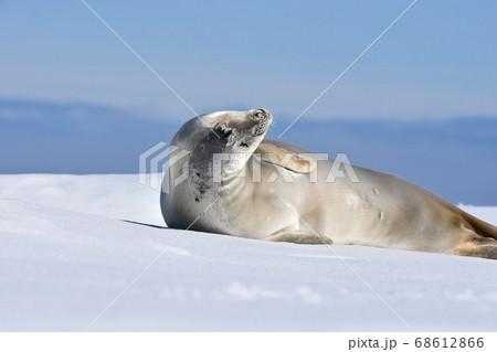 氷の上のアザラシ(南極) 68612866