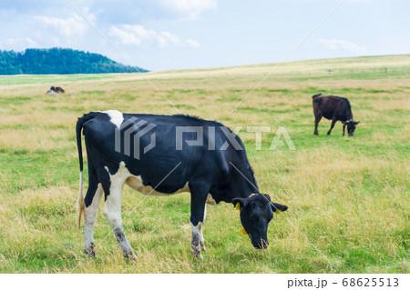 夏の高原の牛が草を食べているワンシーン 68625513