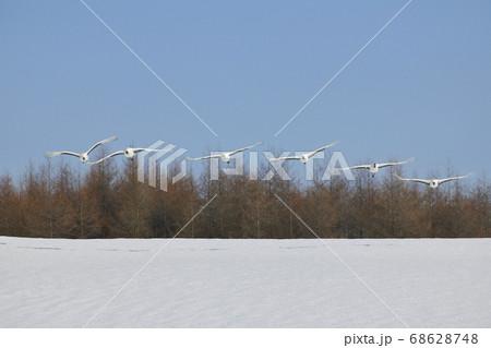 雪原を飛ぶタンチョウの群(北海道・鶴居村) 68628748