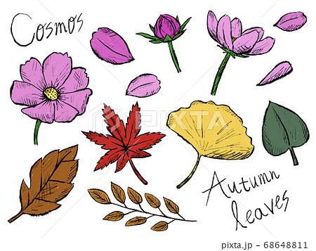コスモスや秋の植物の手書きイラストイメージ 68648811