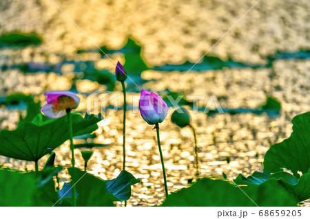 夕日を浴びて輝く琵琶湖の湖面をバックに咲くピンクのハス@滋賀 68659205