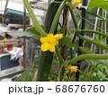今年は沢山収穫できてる胡瓜の花 68676760