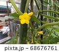 今年は沢山収穫できてる胡瓜の花 68676761