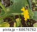 実がどんどん大きくなる家庭菜園のキュウリ 68676762