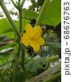 今年は沢山収穫できてる胡瓜の花 68676763