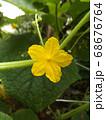 今年は沢山収穫できてる胡瓜の花 68676764
