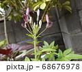 今が花期の酔蝶花と呼ばれるクレオメの蕾 68676978