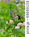 真夏の暑い日差しのもと、優雅に舞い降りおいしそうに花の蜜を吸うアゲハ蝶 68689158