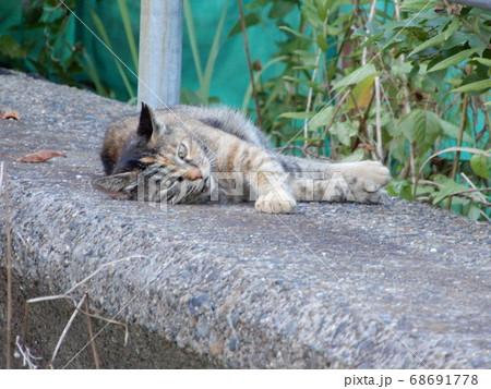塀の上で寝転んでこちらを見ているサビ猫 68691778