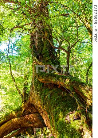 真夏の木漏れ日に映える三本足杉(8月)屋久島白谷雲水峡 68692173