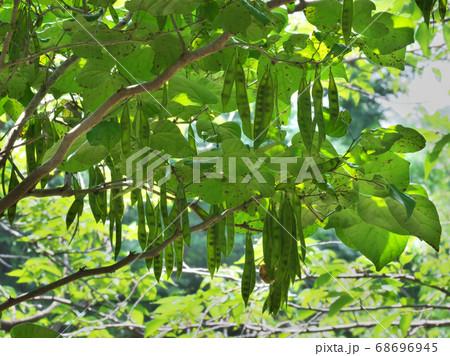 褐色に変わり始めたハナズオウの豆果 8月撮影 68696945