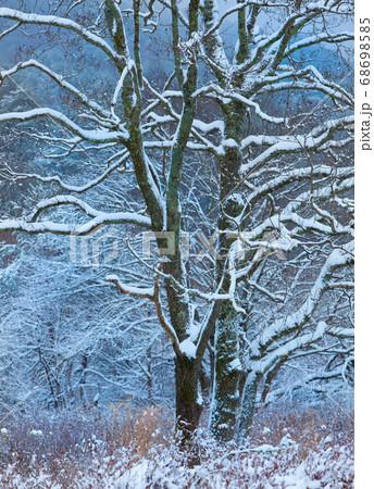 湿原の樹木に雪が積もっています。樹形が浮かび上がります。広島県 68698585