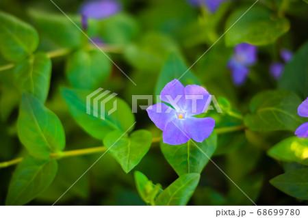 アメリカンブルーの咲く草原です。可憐な花がとっても可愛いです。 68699780