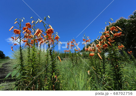 真夏の高原に咲く、オレンジの花 オニユリ 68702756