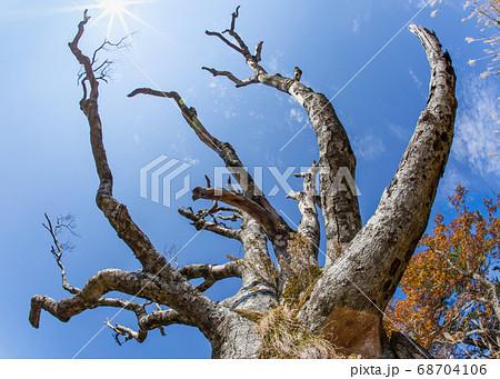 深入山の古木風景です。大空に両手を広げています。青空一杯です。広島県 68704106