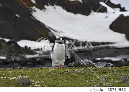 ジェンツーペンギン(南極) 68714956