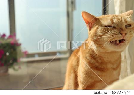 鼻にしわを寄せて牙を出して変顔になる猫のアメリカンショートヘアレッドタビー 68727676