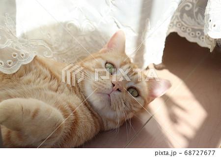 窓辺のカーテンで遊びながら寝転ぶ猫のアメリカンショートヘアレッドタビー 68727677