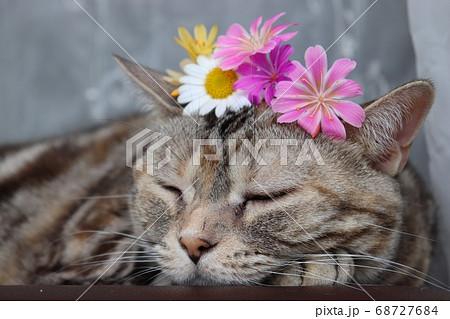 生花の花冠を頭に乗せて寝る猫アメリカンショートヘアシルバーパッチドタビー 68727684