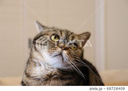 びっくりして首がすくむ猫のアメリカンショートヘアブラウンタビー 68728409