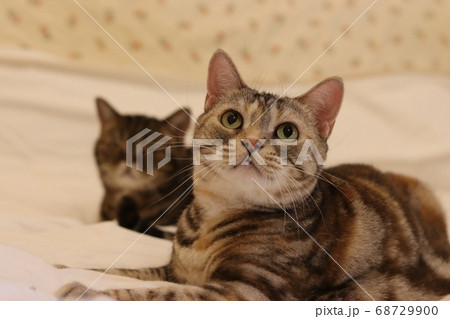 きょとんとした表情の猫のアメリカンショートヘアシルバーパッチドタビー 68729900
