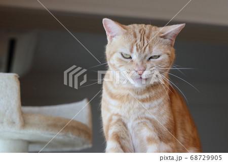 舌打ちして何かを企む表情の猫アメリカンショートヘアレッドタビー 68729905