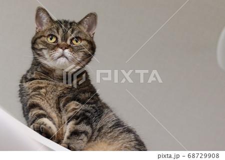 ローアングル撮影歩く猫のアメリカンショートヘアブラウンタビー 68729908