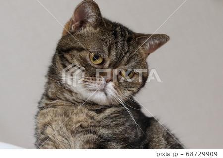 寂しげな悲しげな表情の猫のアメリカンショートヘアブラウンタビー 68729909