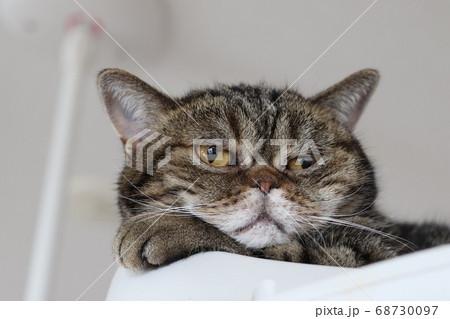 手を頬にあてるキュートな鼻ぺちゃ猫のアメリカンショートヘアブラウンタビー 68730097