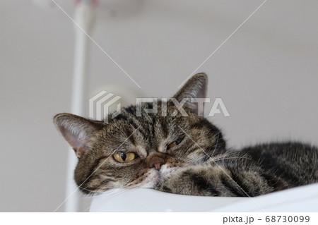 口に手を当ててくつろぐキュートなポーズの猫のアメリカンショートヘアブラウンタビー 68730099