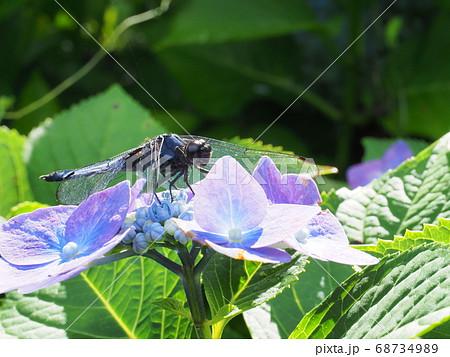 梅雨の晴れ間に紫陽花の花と昆虫たち 68734989