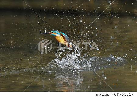 捕食した魚を咥えて向かって左向きに飛び上がるカワセミ 68761217