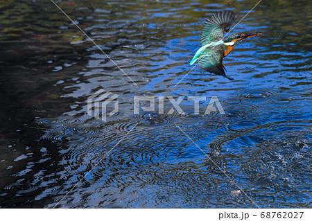 (2枚組の2)捕食した小エビを咥えて飛び上がるカワセミ 68762027