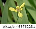 ネオマリカ・ロンギフォリア 68762231