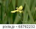 ネオマリカ・ロンギフォリア 68762232