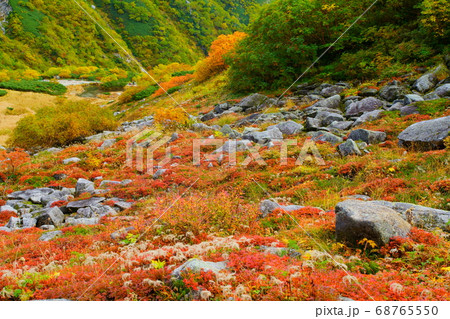 秋の千畳敷カールに広がる草紅葉の紅色鮮やか 68765550