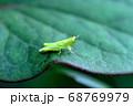ちびなのになかなか精悍 コバネイナゴの幼虫 68769979