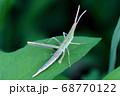 細長い緑色のショウリョウバッタ 68770122