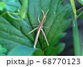 細長い褐色のショウリョウバッタ 68770123