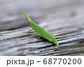 小さなショウリョウバッタの幼虫 68770200