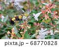 白いアベリアの花を吸蜜しにきたクロヒメホウジャク 68770828
