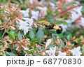 白いアベリアの花を吸蜜しにきたクロヒメホウジャク白いアベリアの花を吸蜜しにきたクロヒメホウジャク 68770830
