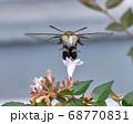 白いアベリアの花を吸蜜しにきたクロヒメホウジャク 68770831